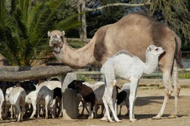 Sultan le dromadaire nouveau né de la Réserve Africaine de Sigean