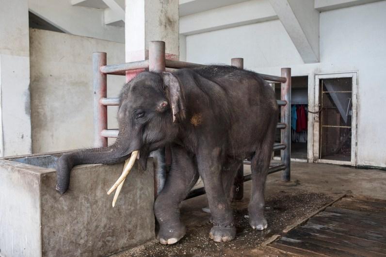 """Gluay Hom, un éléphant d'Asie mâle de 4 ans, a une patte cassée et des plaies ouvertes à la tête. Il est gardé en captivité sous l'arène où les éléphants effectuent des tours pour divertir le public. Son cas est l'un des pires exemples de négligence que nous avons pu constater au cours du mois que nous avons passé à enquêter sur l'industrie du tourisme autour des éléphants en Thaïlande. Notre fixeur est retourné dans ce zoo six mois plus tard (en décembre 2018) et l'a retrouvé là, se morfondant dans le même état. Ferme aux crocodiles et zoo de Samutprakarn, périphérie de Bangkok, Thaïlande. Gluay Hom, a four year-old male Asian elephant, has a broken leg and open sores on his face. He is housed beneath the stadium where the elephants perform. His was the worst case of neglect that we witnessed in the course of the month spent covering the elephant tourism industry in Thailand. Our fixer returned six months later (in December 2018) and found him still languishing there in the same condition. Samutprakarn Crocodile Farm and Zoo, on the outskirts of Bangkok, Thailand. © Kirsten Luce / National Geographic Photo libre de droit uniquement dans le cadre de la promotion de la 31e édition du Festival International du Photojournalisme """"Visa pour l'Image - Perpignan"""" 2019 au format 1/4 de page maximum. Résolution maximale pour publication multimédia : 72 dpi Mention du copyright obligatoire. The photos provided here are copyright but may be used royalty-free for press presentation and promotion of the 31th International Festival of Photojournalism Visa pour l'Image - Perpignan 2019."""