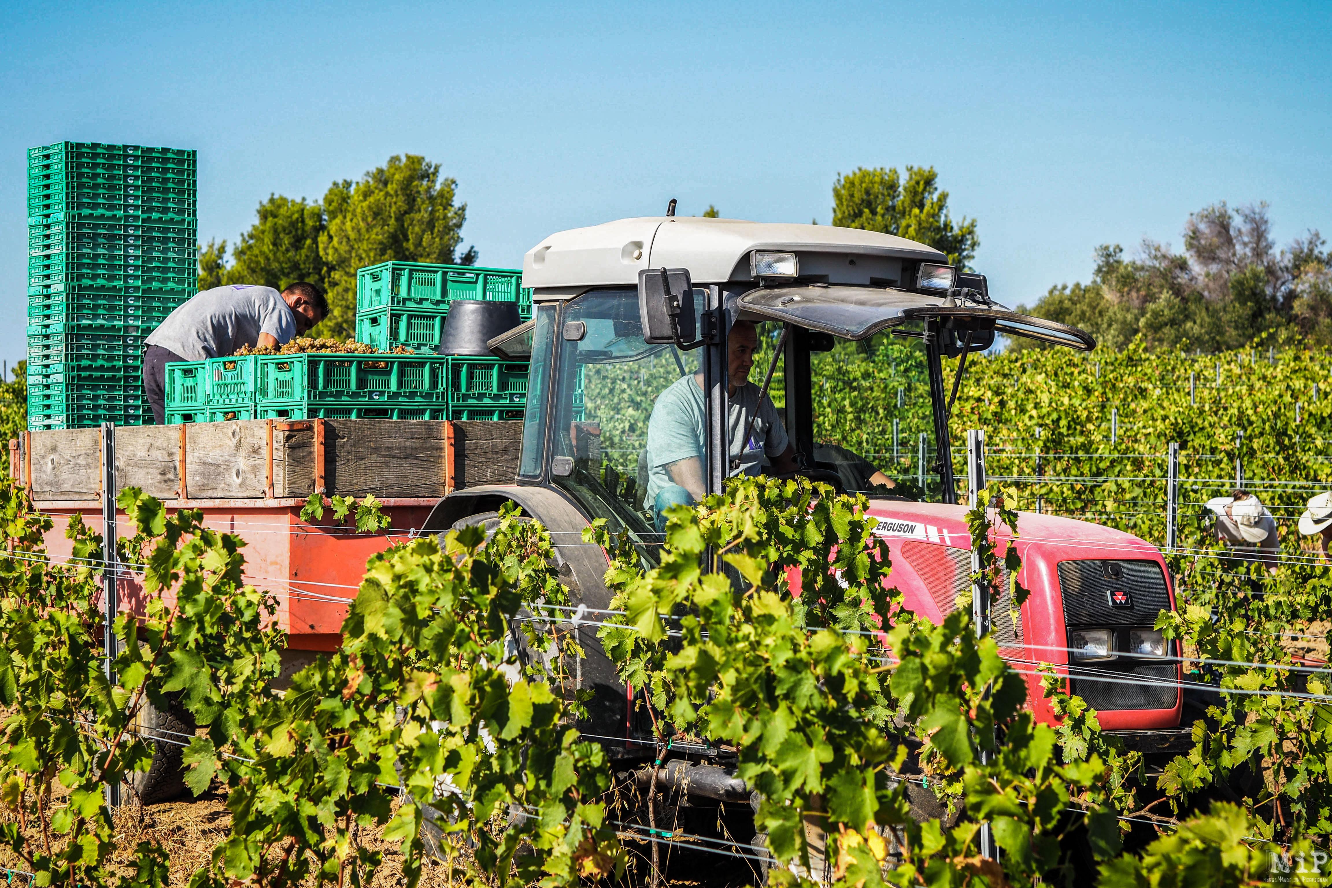 Vins du Roussillon vendanges vigne