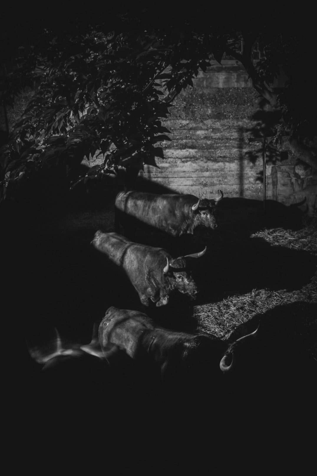 """Toros de José Jaquim Moreno Da Silva, élevage de sang pur """"Saltillo"""". Les arènes de Céret sont fréquentées par un public exigeant, qui """"sélectionne"""" ses arènes, cherche des toros """"bravos"""" et vient de loin pour voir concourir des encastes anciennes."""