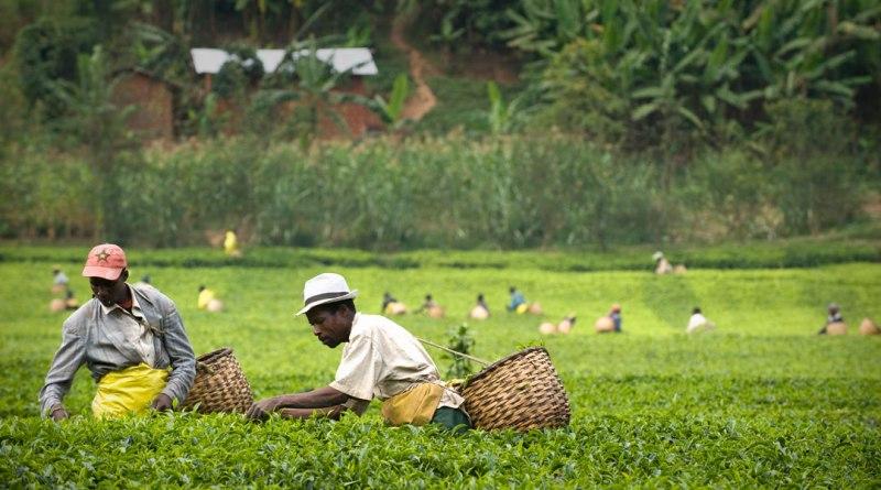 Rwanda-tea