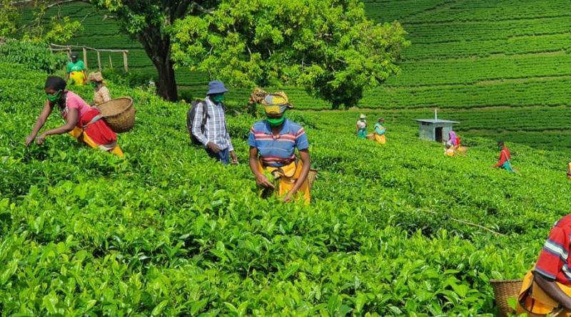 Rwanda produceert jaarlijks 30.000 ton thee