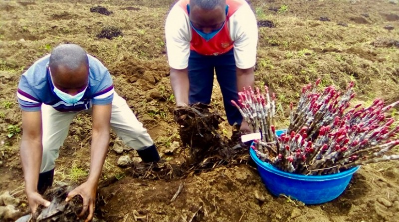Proeven met Nederlandse appelrassen in Rwanda