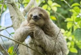 10 fatos sobre a 'miss simpatia' da Amazônia: o bicho-preguiça