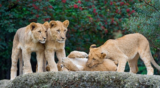 Four lion cubs play together