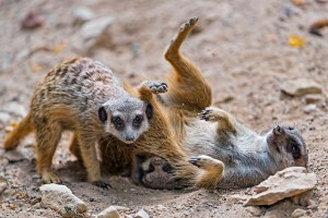 Young meercats play together.
