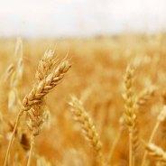 Oh My, Wheat!