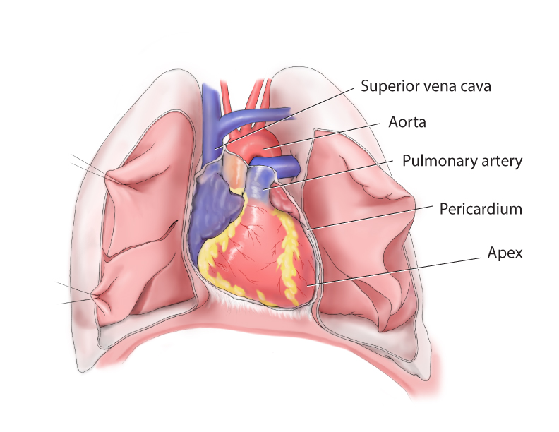 Surface Anatomy of Heart - Madeline M Lee