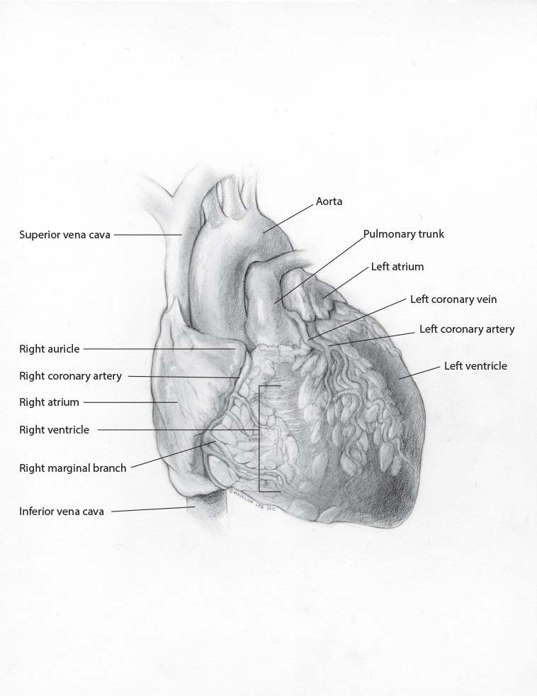 Surface Anatomy of Heart: Graphite - Madeline M Lee