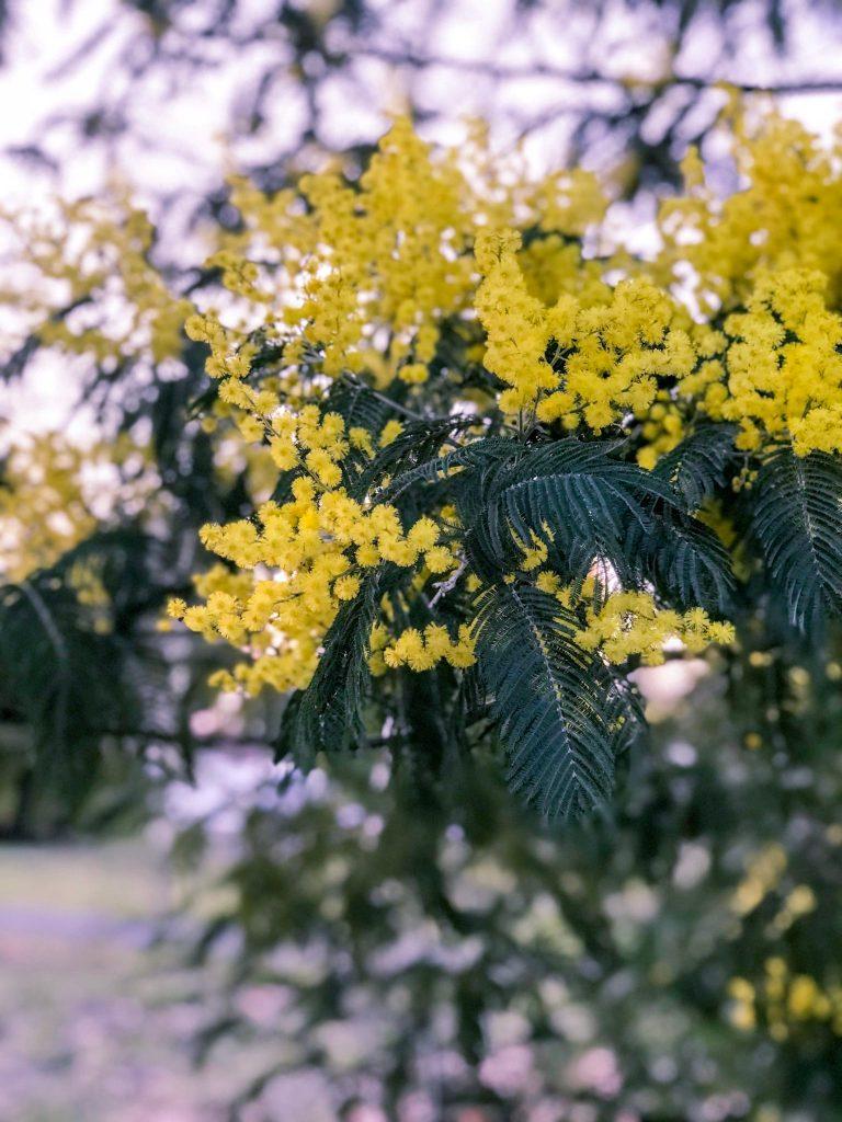mimosa-fevrier-2018-blog-lifestyle-bassin-arcachon
