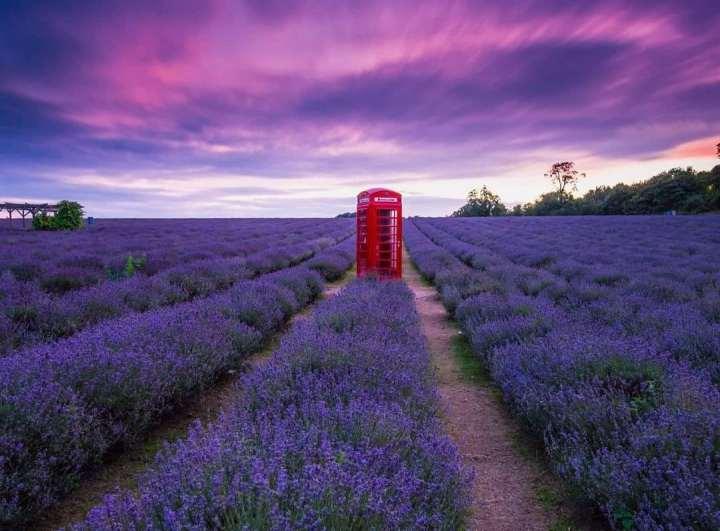 British lavander: visitare i campi di lavanda in Inghilterra