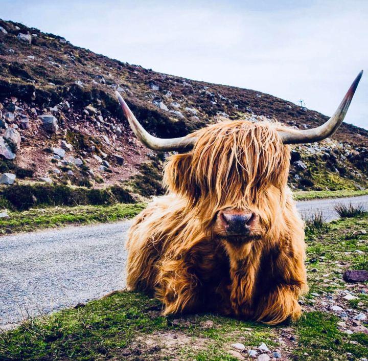 Isola di Skye: Highlander razza di mucca scozzese, comodamente adagiata a bordi strada