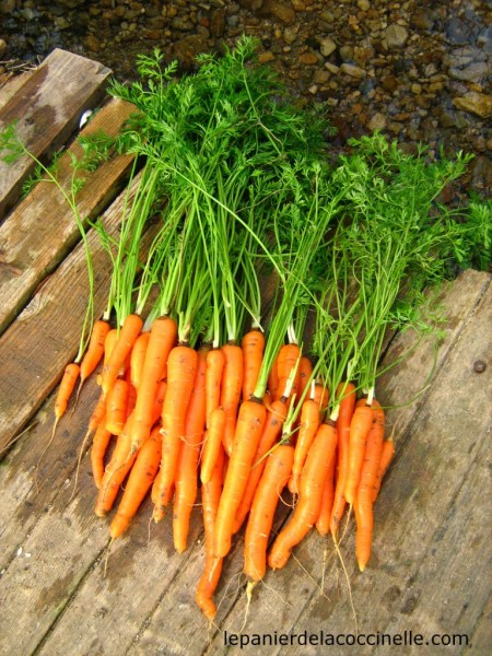 carottes-potager