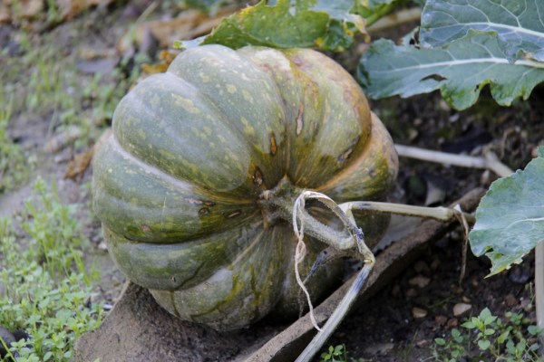 courge-potager