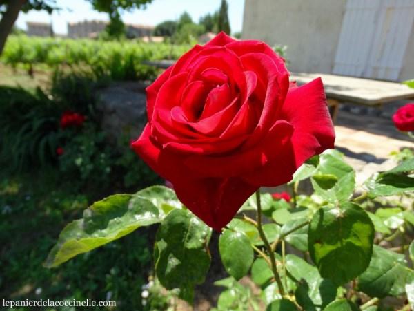 rose-rouge-Enclos-de-la-Croix-vin-bio-Languedoc