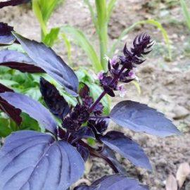 basilic-poupre-fleurs-jardin-potager-bio