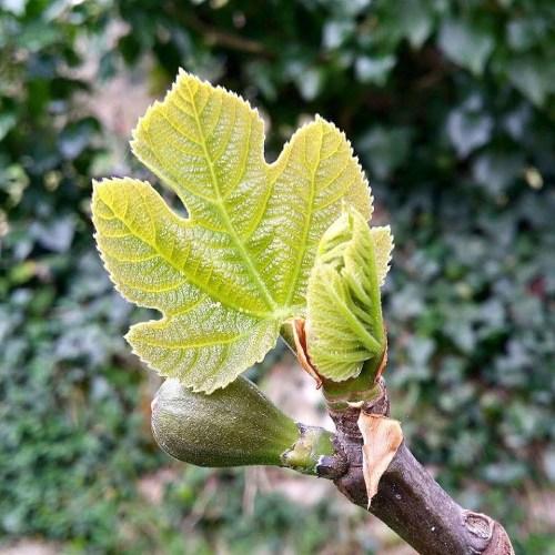 bourgeon-figuier-jardin-potager-bio