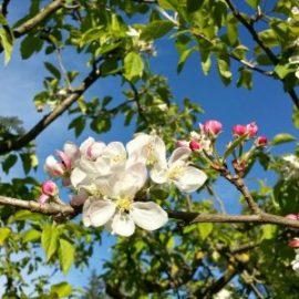 fleurs-pommier-jardin-potager-bio