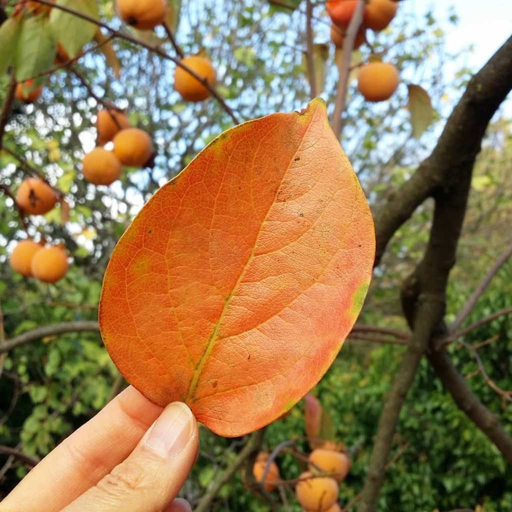 Feuille d'automne de plaqueminier et kakis du jardin potager bio de Mademoiselle Coccinelle pour illustrer une recette de Riz au lait vegan Coco Kaki