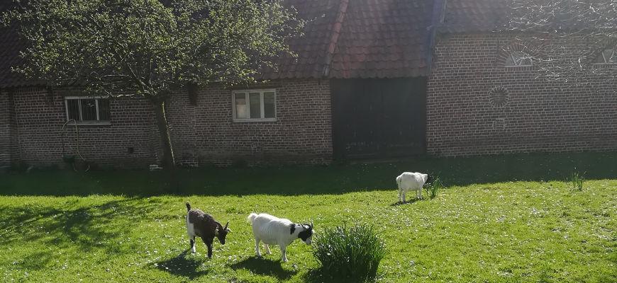 chèvres Marcq en Baroeul