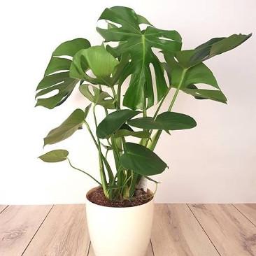 plante verte cadeau