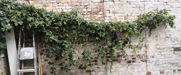 houblon Lille
