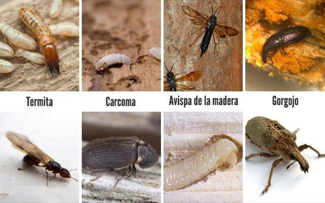 especies insectos de la madera