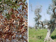 ebola del olivo