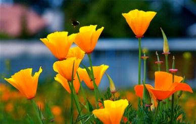 california-poppy