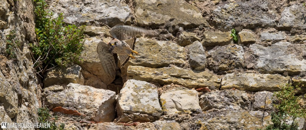 Hawk with a mouse in its beak, flying by the castle walls