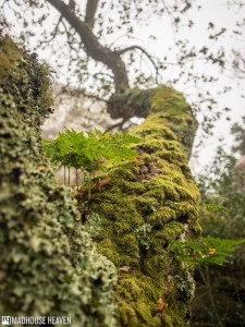 Moss and lichen covered tree branch, Enchanted Forest, Convent of the Capuchos, Sintra, Portugal