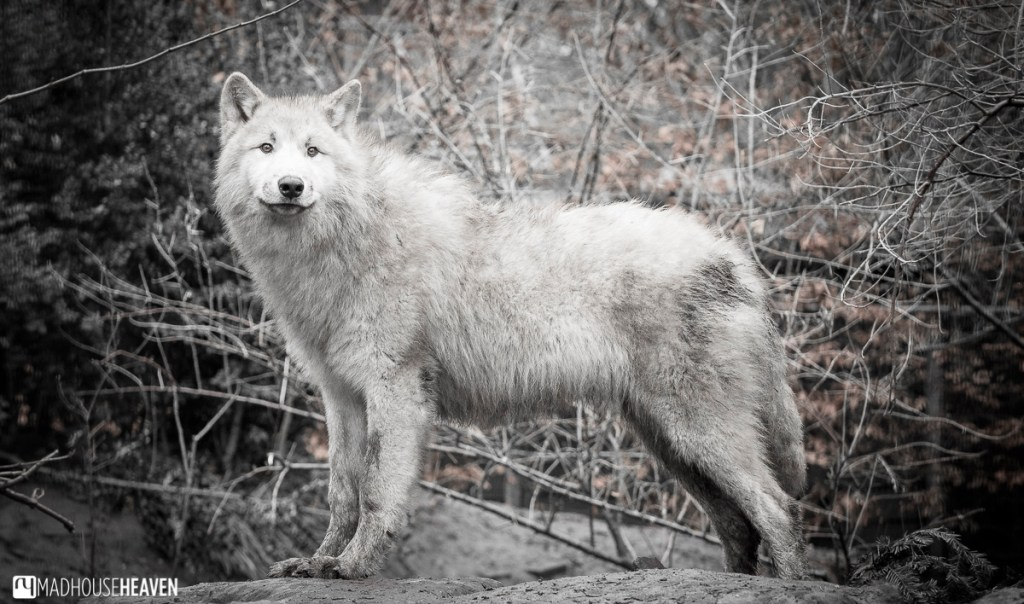 Hudson bay wolf pup grown to adult size but still retaining its juvenile fur