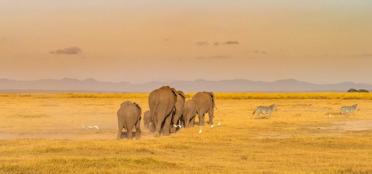 A family of elephants walking across golden African savannah in the Amboseli National Park in Kenya