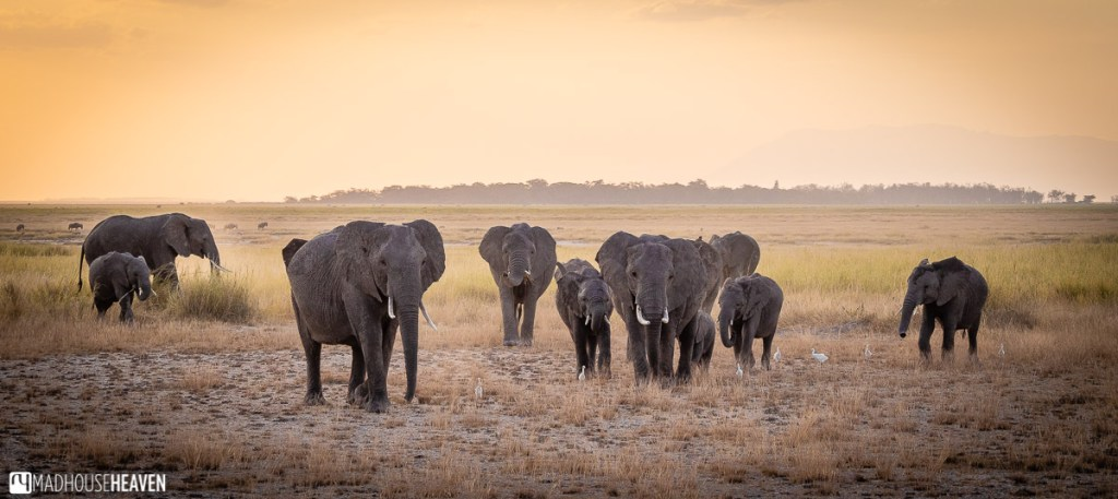 A herd of elephants approaching the viewer across a dry grass of Amboseli National Park