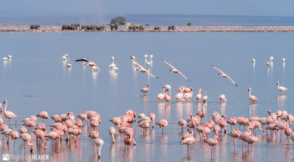 A herd of elephants walking through a flamboyance of flamingoes in the shallow part of Lake Amboseli
