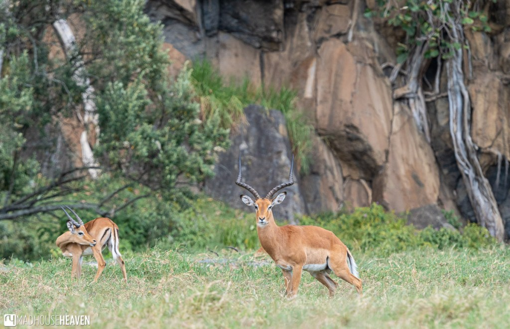 Beautiful buck gazelle standing guard over a number of does in the Hell's Gate National Park