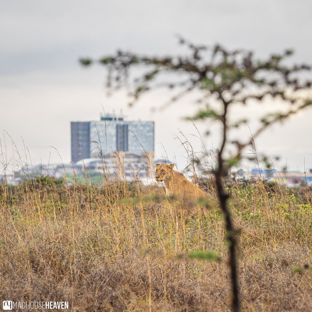 Lioness with a high-rise building behind her, in the Nairobi National Park, Kenya
