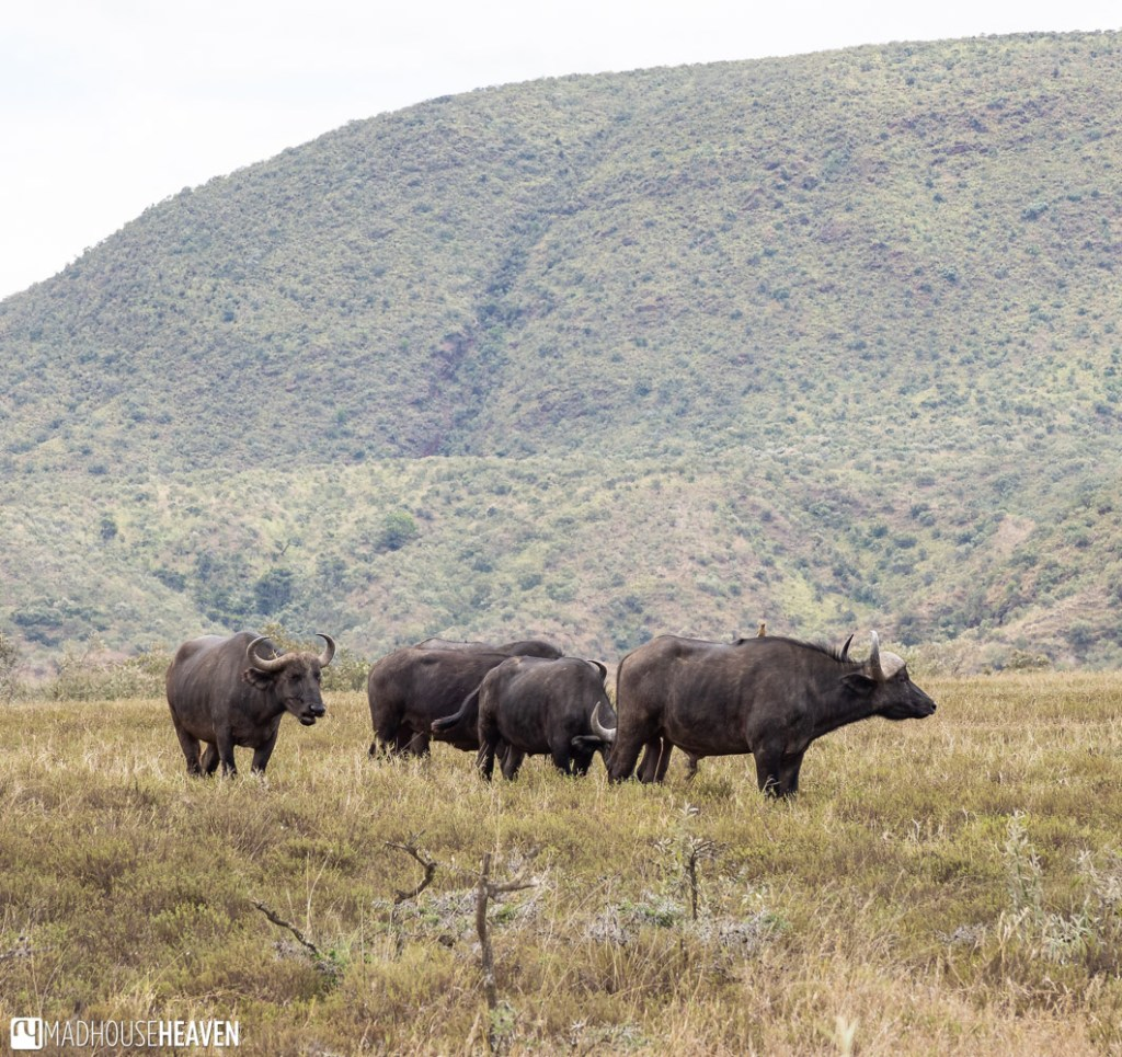 A group of free ranging buffaloes in the Hell's Gate National Park