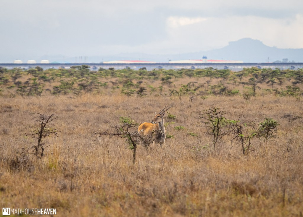 Common Eland antelope in the yellow grass of the Nairobi National Park