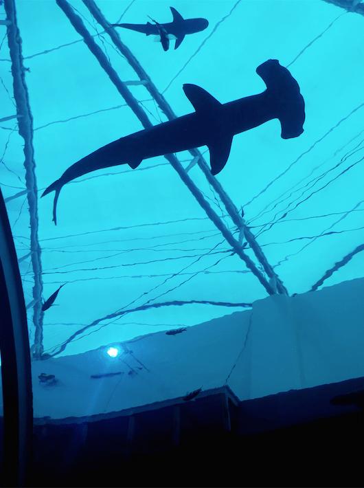 Hammer head shark, Sea Aquarium .png