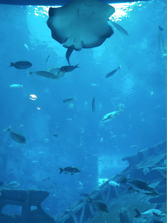 Sting ray, SEA aquarium .png