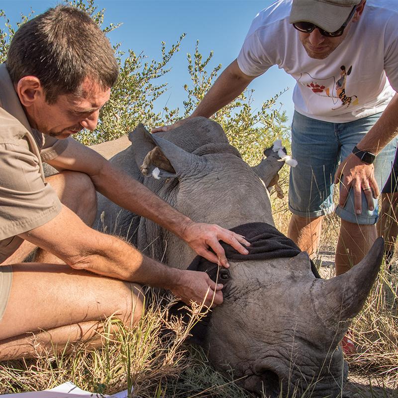 A Game ranger looking after a rhino at Madikwe Safari Lodge