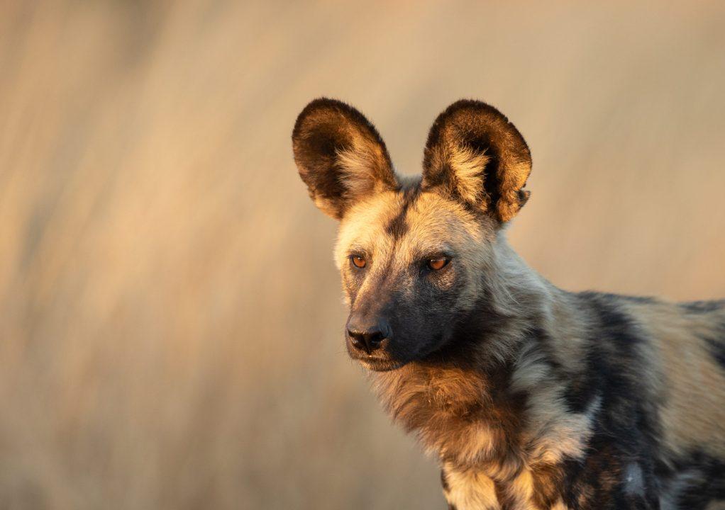 African Wild Dog: Secret Treasure Of The Madikwe Game Reserve