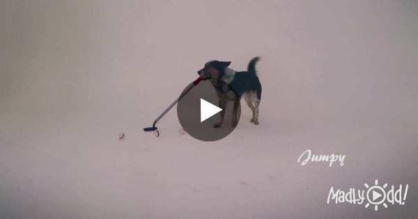 Dog Stands With Putter Near Five Golf Balls. His Next ...