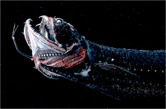 cool facts about dragonfish i can do it