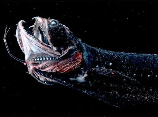 black dragonfish niger