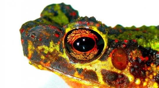 bornean rainbow toad found missing 87 years