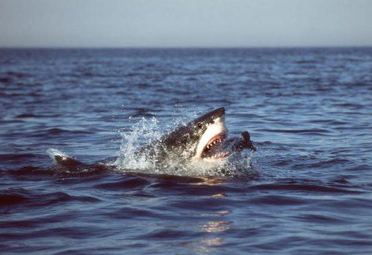 sharks madmikesamerica