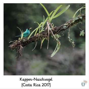 Kappen-Naschvogel {Costa Rica 2017}