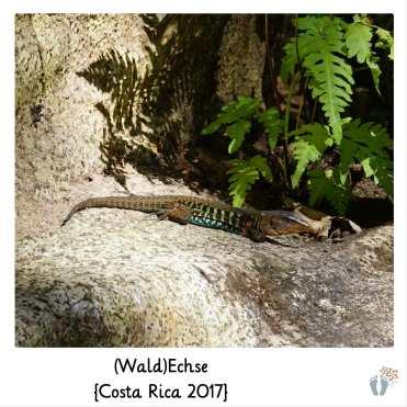 (Wald)Echse {Costa Rica 2017}